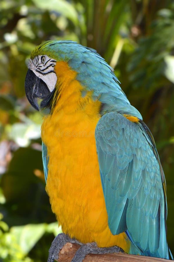 Blue and yellow macaw. Latin name Ara ararauna royalty free stock photography