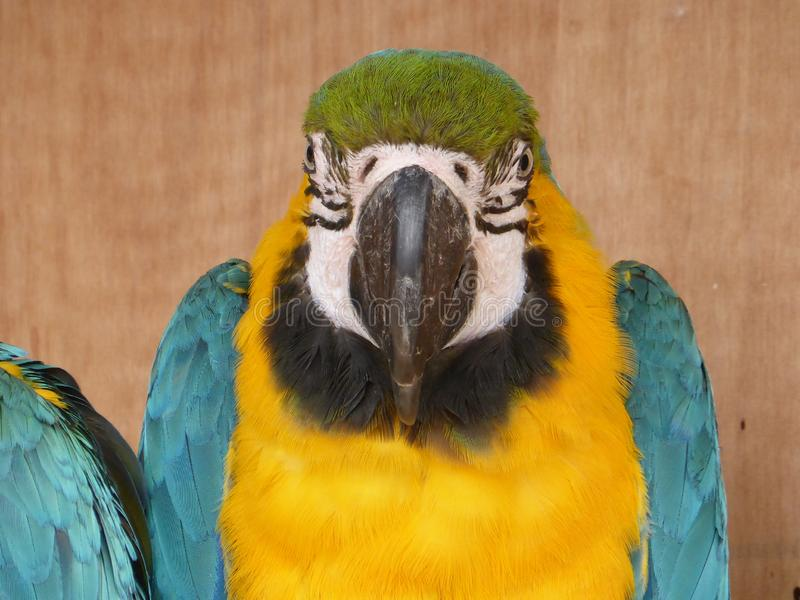 Blue and yellow macaw looking at the camera. Blue and yellow macaw enjoying the sun and waiting for some food royalty free stock images