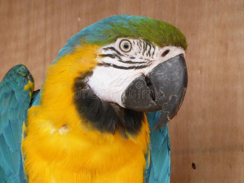 Blue and yellow macaw looking at the camera. Blue and yellow macaw enjoying the sun and waiting for some food stock photo