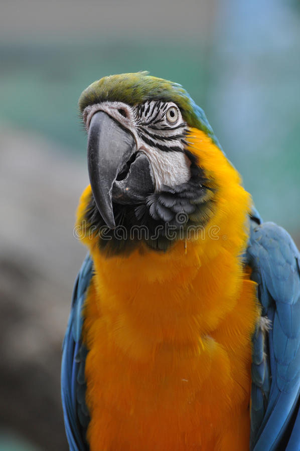 Blue and yellow macaw. And magnificent plummage is a large parrot of South America stock photo