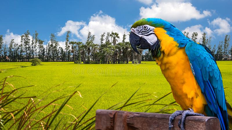 Blue and Yellow Macaw. Blue and Yellow Macaw on the nature stock photography