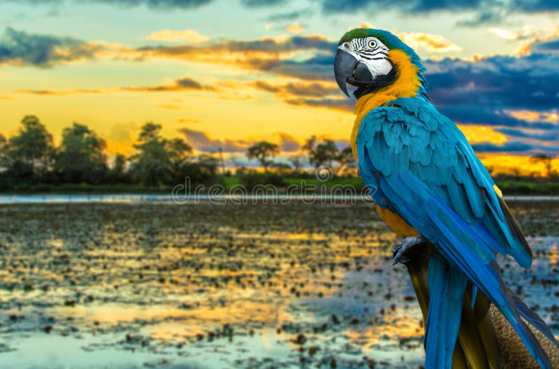Blue and Yellow Macaw on the nature royalty free stock images