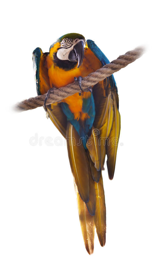 Blue and yellow Macaw. Over white background royalty free stock photo