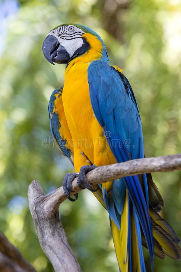 Blue and Yellow Macaw Parrot , Ara ararauna , also known as the Blue and Gold Macaw. Bali, Indonesia royalty free stock photos