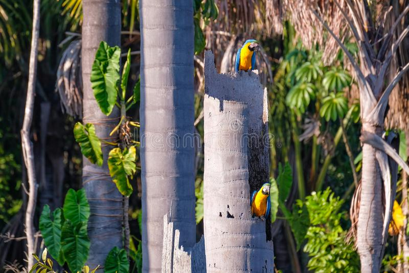 Blue And Yellow Macaw parrot, Ara Ararauna, palm lagoon Lagoa das Araras, Bom Jardim, Nobres, Mato Grosso, Brazil. South America stock images