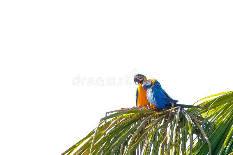 Blue And Yellow Macaw parrot, Ara Ararauna, palm lagoon Lagoa das Araras, Bom Jardim, Nobres, Mato Grosso, Brazil. South America royalty free stock image