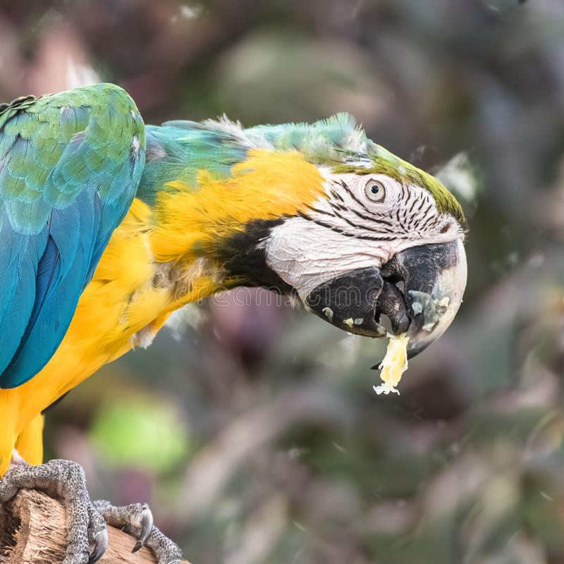 Blue and yellow Macaw, parrot royalty free stock images