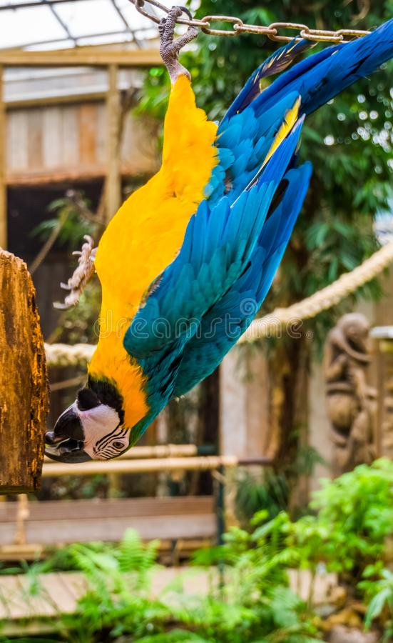 Blue and yellow macaw parrot hanging upside down, funny tropical pet from America. A Blue and yellow macaw parrot hanging upside down, funny tropical pet from stock photos