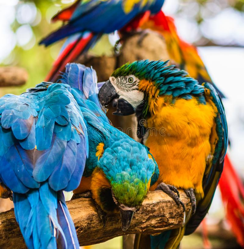 Blue and yellow macaw, parrot in a natural park in Cartagena, Colombia.  royalty free stock photos