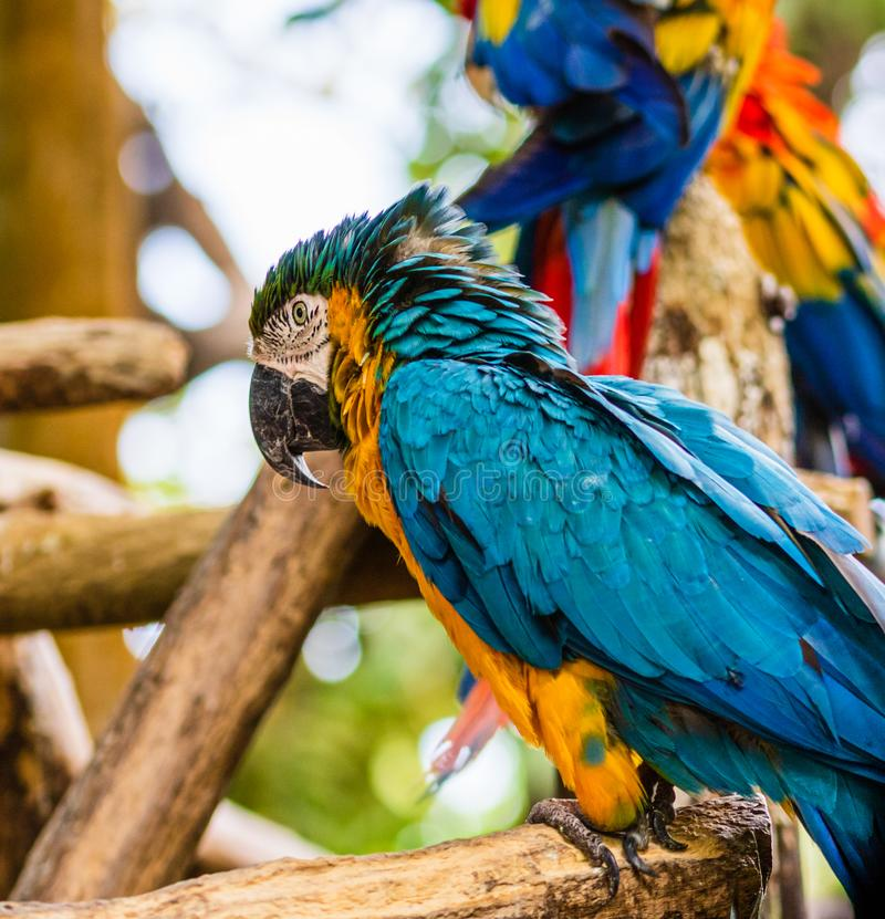 Blue and yellow macaw, parrot in a natural park in Cartagena, Colombia.  royalty free stock image
