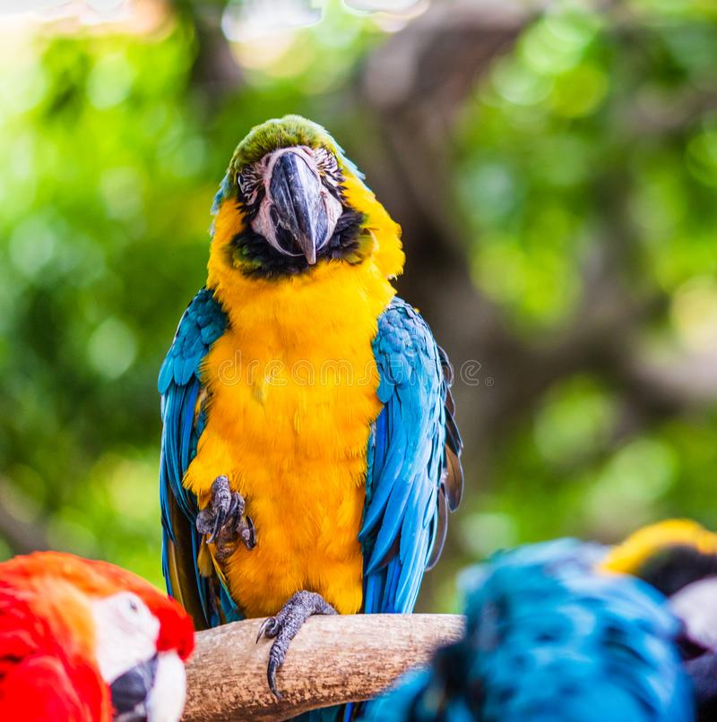 Blue and yellow macaw, parrot in a natural park in Cartagena, Colombia.  stock photos