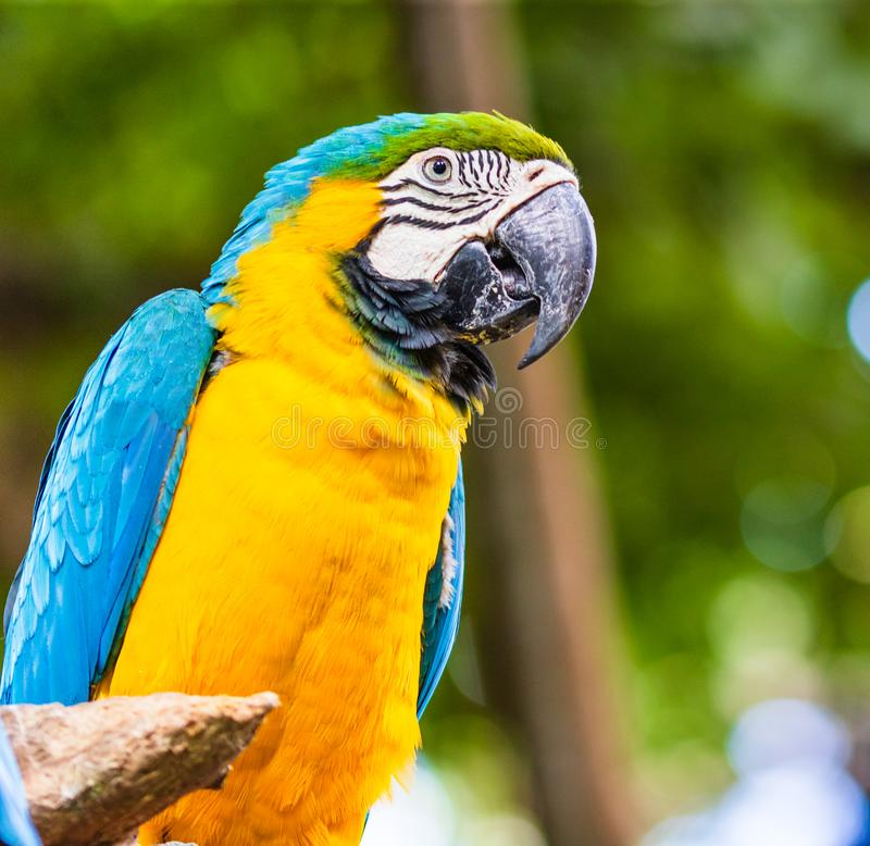 Blue and yellow macaw, parrot in a natural park in Cartagena, Colombia.  royalty free stock photography