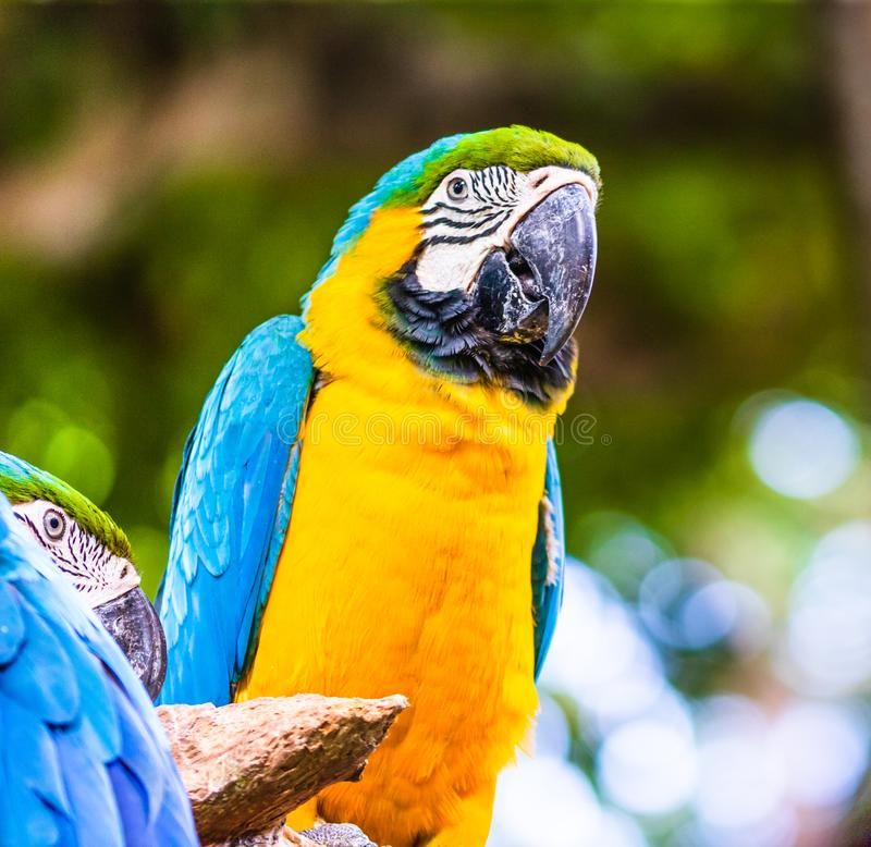 Blue and yellow macaw, parrot in a natural park in Cartagena, Colombia.  stock photography