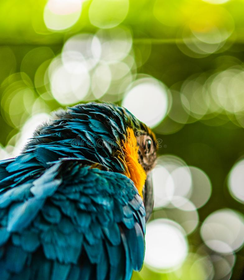Blue and yellow macaw, parrot in a natural park in Cartagena, Colombia.  royalty free stock photo