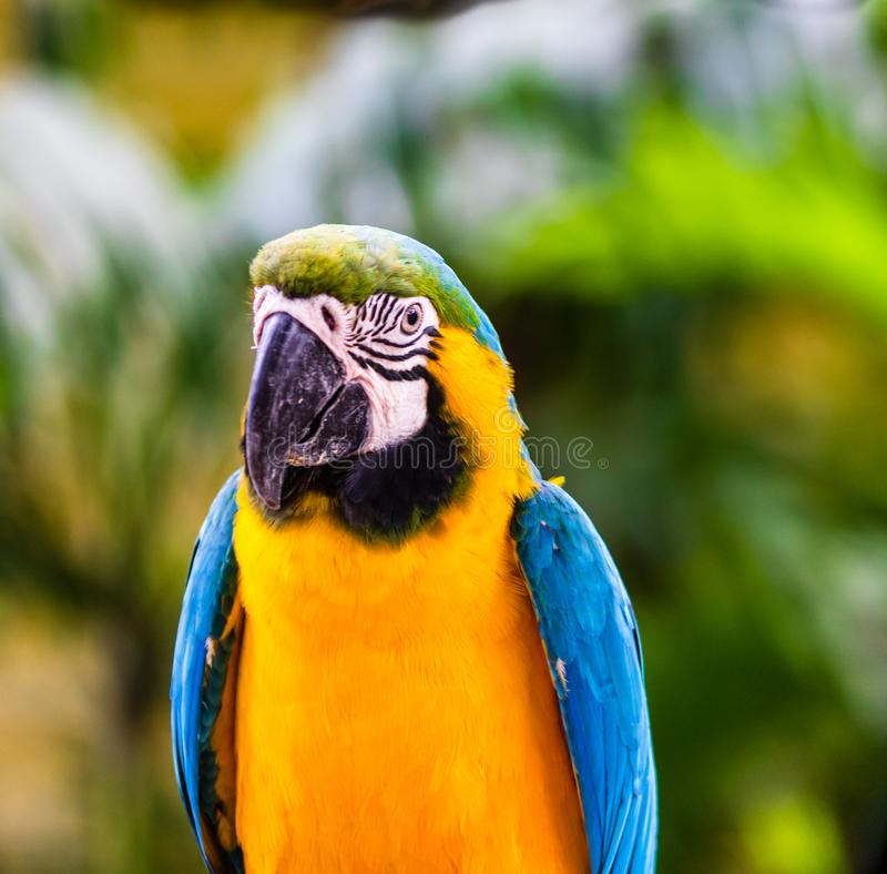 Blue and yellow macaw, parrot in a natural park in Cartagena, Colombia.  stock images