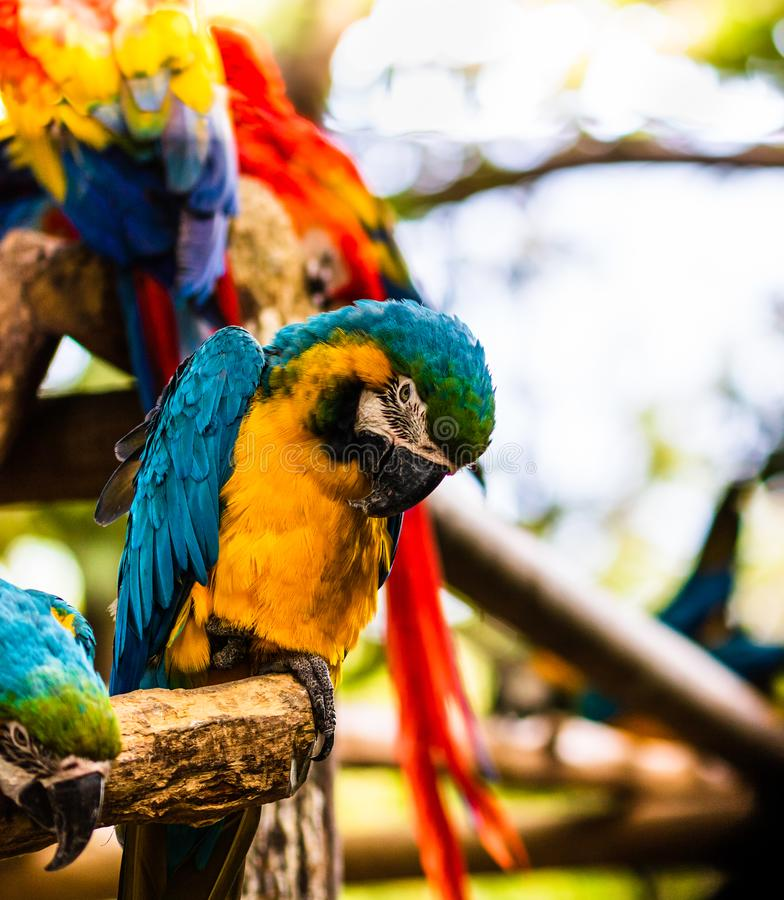 Blue and yellow macaw, parrot in a natural park in Cartagena, Colombia.  stock image