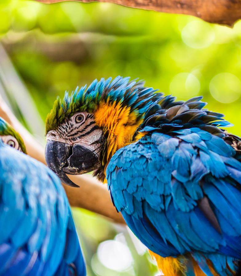 Blue and yellow macaw, parrot in a natural park in Cartagena, Colombia.  stock photo
