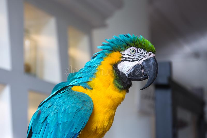 Blue and yellow macaw parrot portrait. Blue and yellow colorful macaw parrot portrait stock photo