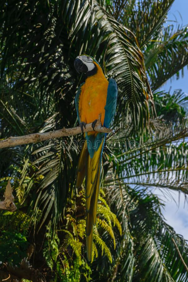 Blue-yellow Macaw parrot sitting on the branch in front of palm trees.  stock photos