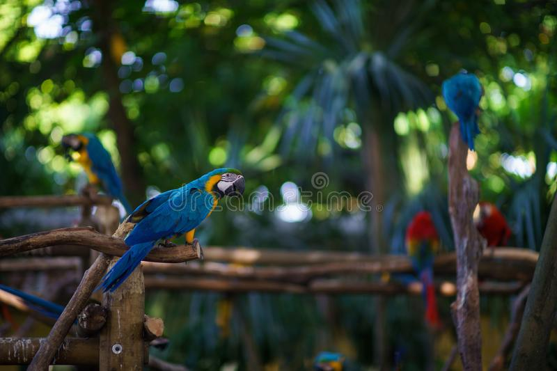 Blue-and-yellow macaw parrot sitting on the branch and looking at camera with a lot of other parrots on background royalty free stock image