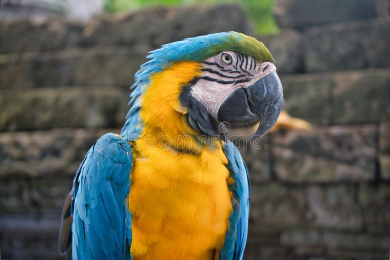 A blue and yellow macaw parrot closeup royalty free stock image