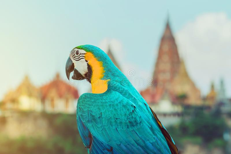 Blue and yellow macaw parrot wait to fly on the hand. With Wat Tham Sua in the background stock photos