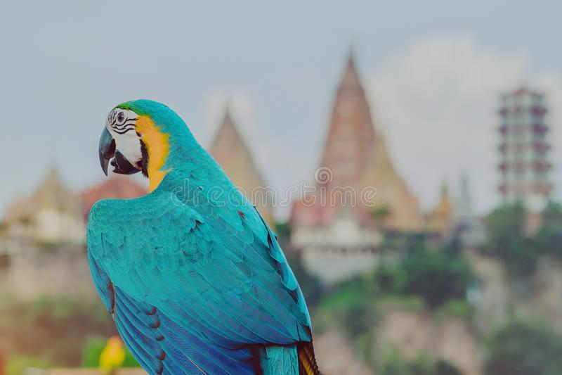 Blue and yellow macaw parrot wait to fly on the hand. With Wat Tham Sua in the background royalty free stock photos