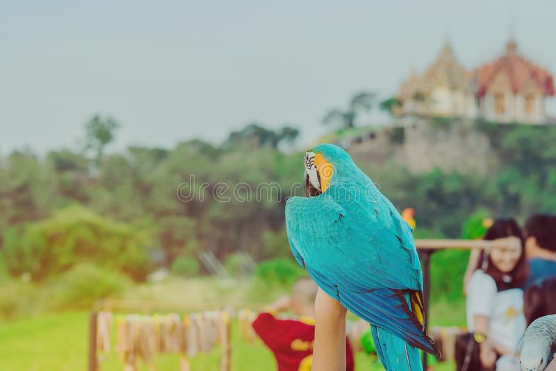 Blue and yellow macaw parrot wait to fly on the hand stock photo