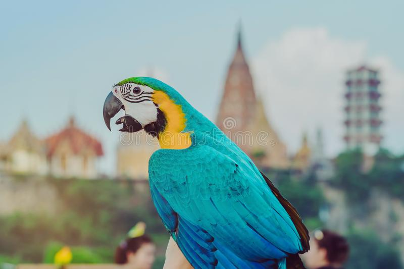 Blue and yellow macaw parrot wait to fly on the hand stock photos