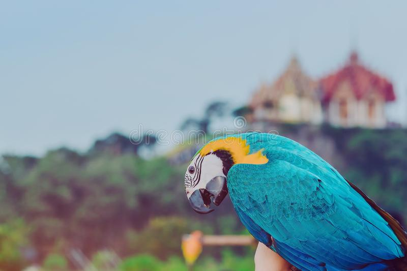 Blue and yellow macaw parrot wait to fly on the hand with Wat Tham Sua royalty free stock photos