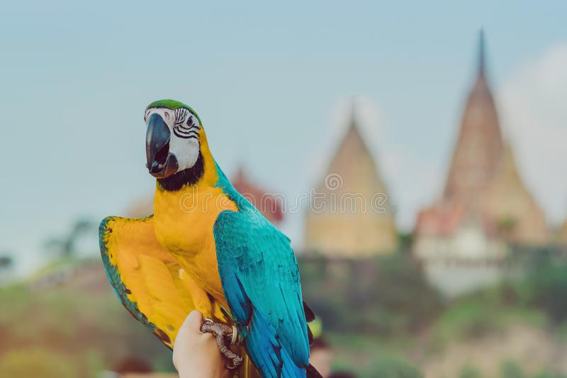 Blue and yellow macaw parrot wait to fly on the hand. With Wat Tham Sua in the background royalty free stock images