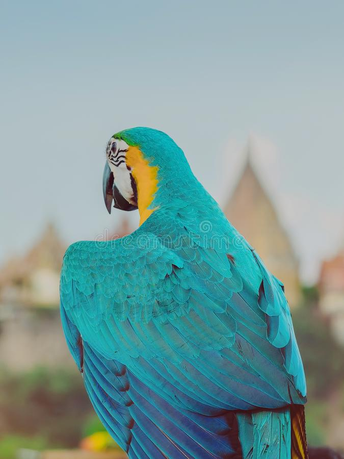 Blue and yellow macaw parrot wait to fly on the hand with Wat Tham Sua stock photo