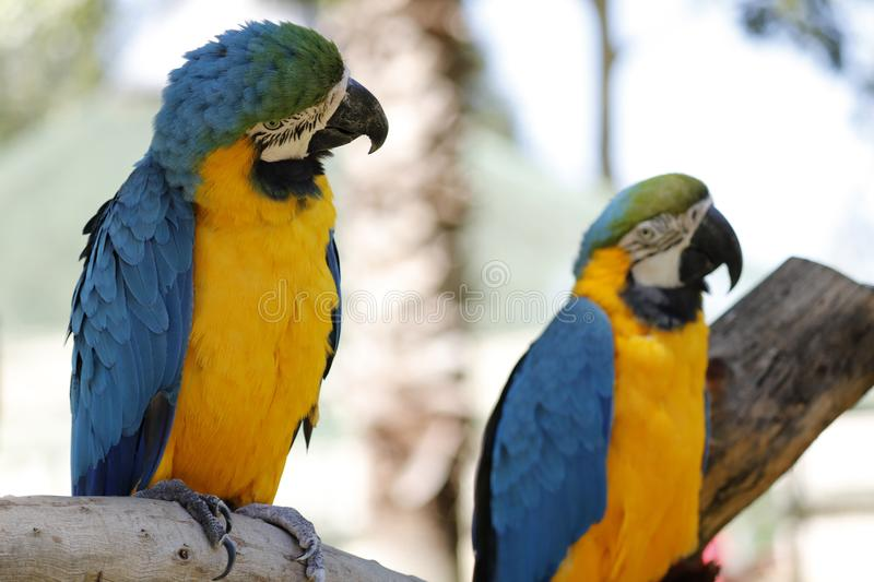 Blue and Yellow Macaw Parrots. Two Blue and Yellow Macaw Parrots, side views, large eye and beak. Colorful, tropical bird, intelligent. looking to the side royalty free stock images
