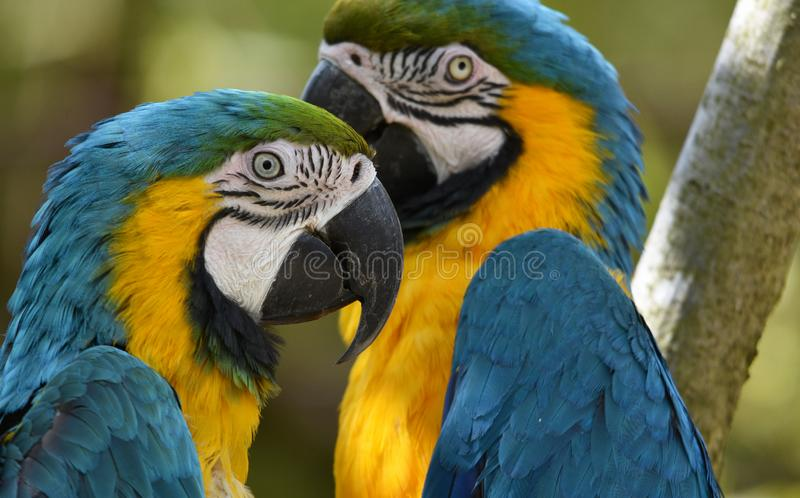 Blue and Yellow Macaw Parrots royalty free stock photo