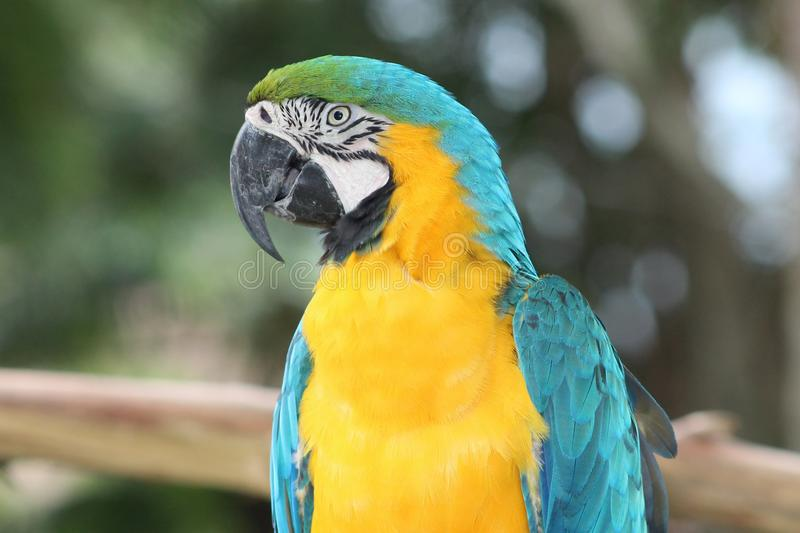 Blue and yellow macaw. Portrait of a blue and yellow macaw stock images