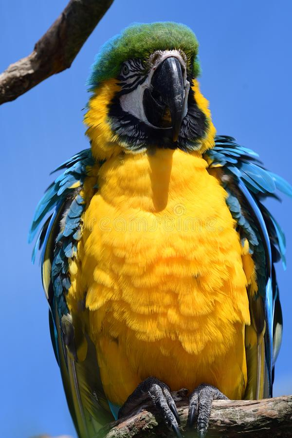 Blue and yellow macaw stock photography