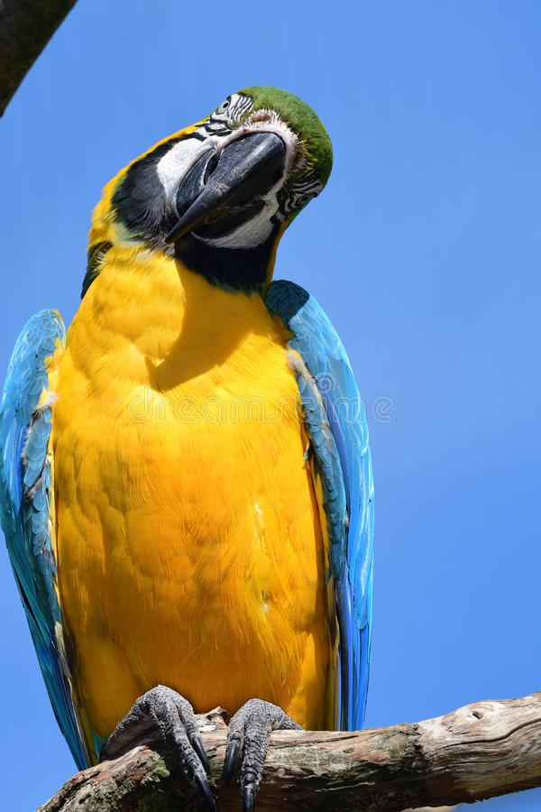 Blue and yellow macaw royalty free stock image