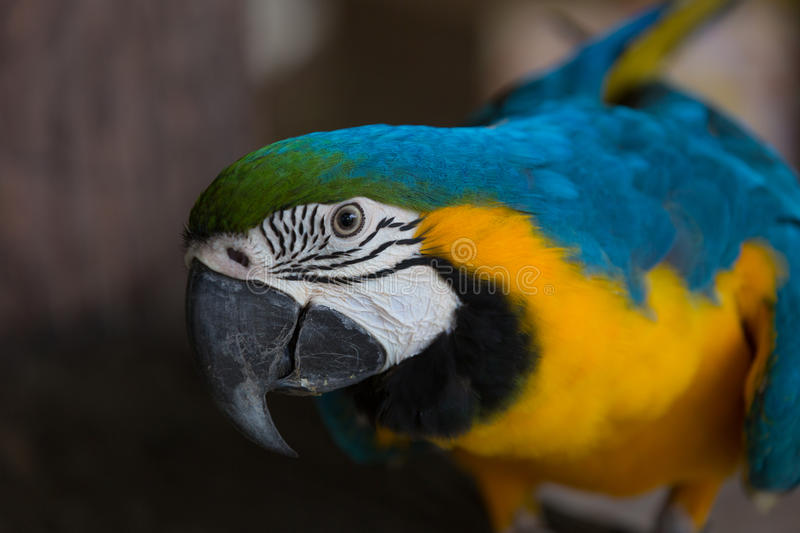 Blue and yellow macaw. Portrait royalty free stock photo