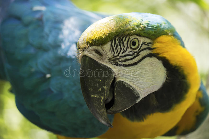 Blue and yellow macaw. Portrait of a beautiful blue and yellow macaw ara ararauna stock photos