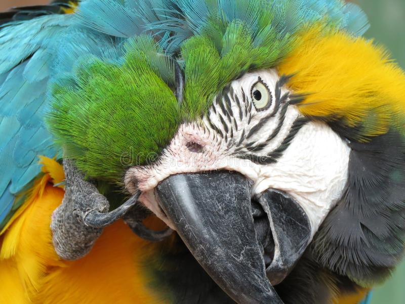 The blue and yellow macaw portrait. The blue and yellow macaw from South America royalty free stock photography