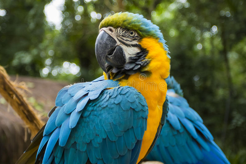 Blue and yellow macaw portrait in a brazilian park. Endangered blue and yellow macaw portrait in a brazilian preservation park royalty free stock photography