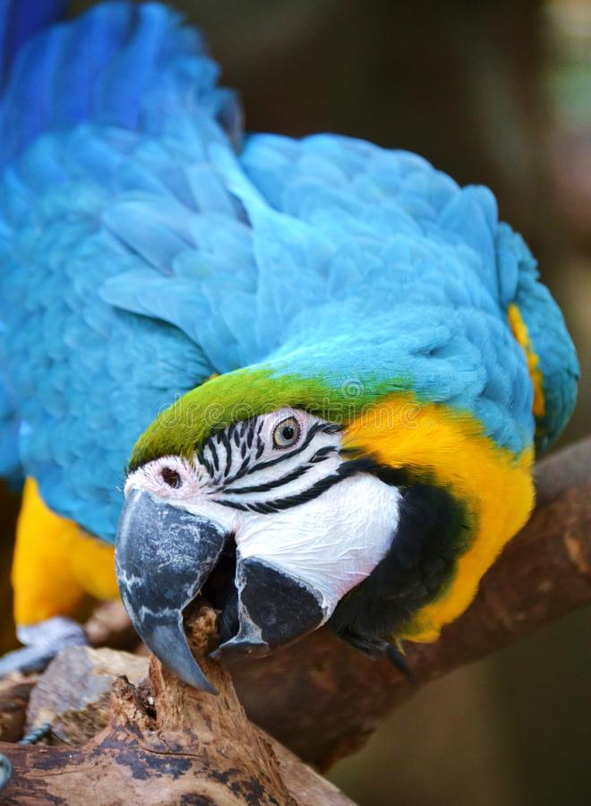Blue and Yellow Macaw. Profile photo of a Blue and Yellow Macaw stock photo