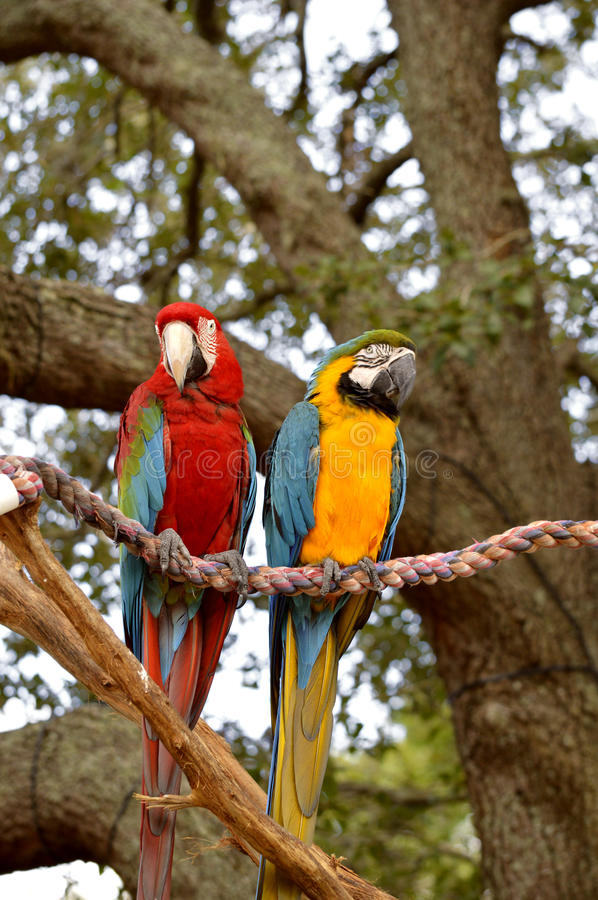 Blue and yellow macaw and Scarlet macaw. Blue and yellow macaw and a Scarlet macaw royalty free stock photo