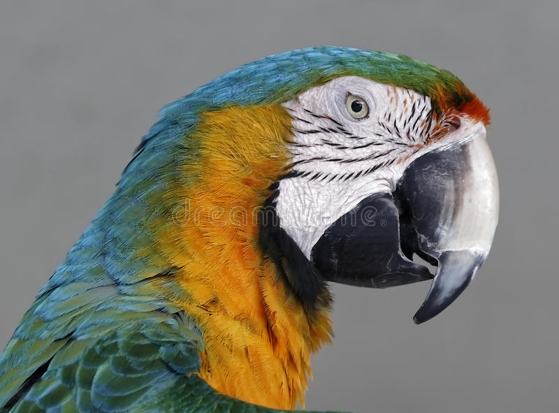 Blue-and-yellow macaw. In Side, Turkey stock photography