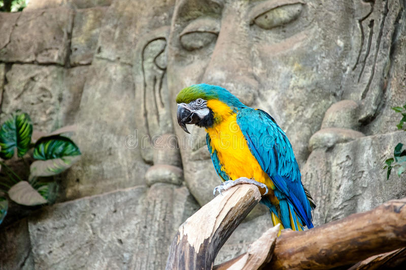 Blue-and-yellow macaw. Sitting on a branch stock images
