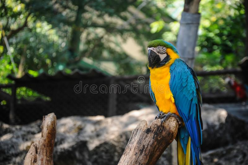 Blue and Yellow Macaw Sitting on the Branch. Close up royalty free stock photos