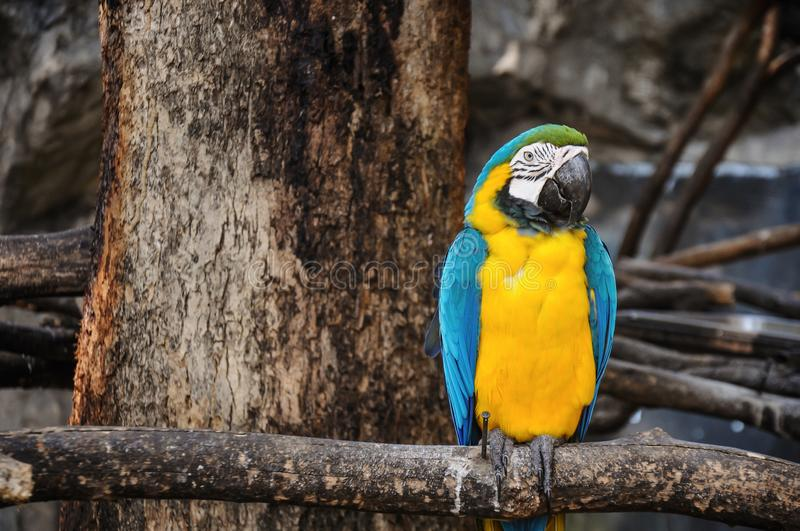Blue and Yellow Macaw Sitting on the Branch. Close up stock image