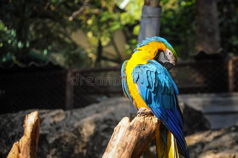 Blue and Yellow Macaw Sitting on the Branch lit by Sunlight. Wildlife love royalty free stock image