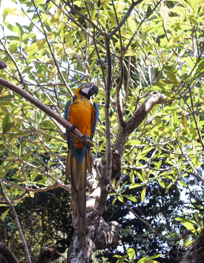 Blue-and-yellow macaw sitting on green tree royalty free stock image