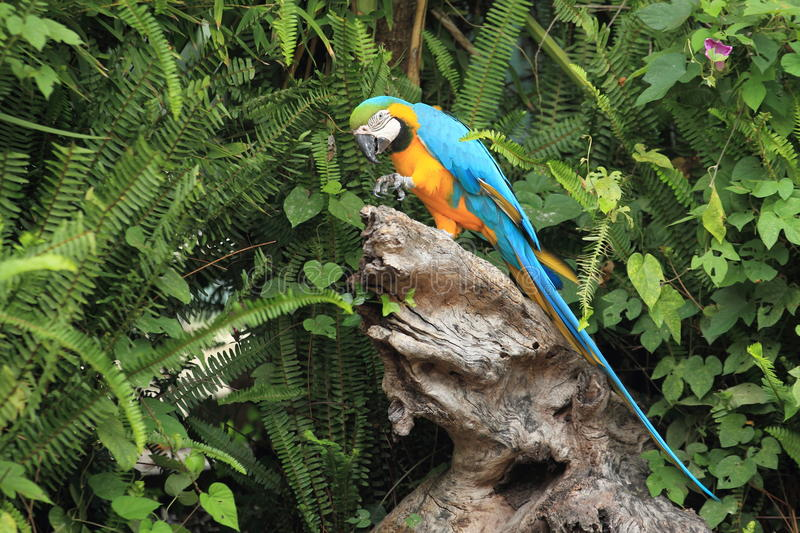 Blue-and-yellow macaw. Sitting on the stub royalty free stock photo